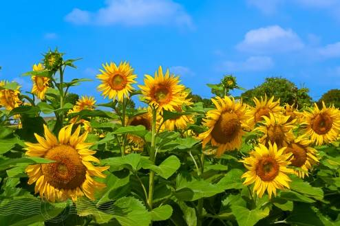 Sunflowers holds this fascination with many people and for me they remind me of smiley faces  ....